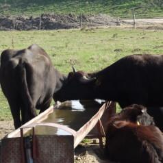 Se înmulțesc bivolii la fermă