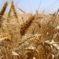 Nem lesz terméskiesés a gabonáknál